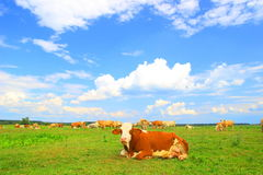 Cows herd in nature Stock Photo