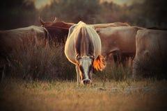 Cows herd in orange sunset light Stock Photo
