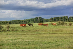 Cows. Herd of cows in the pasture Royalty Free Stock Images