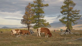 Cows Herd Pasturing On Autumn Field With The Mountain Range On Background Among The Pine Trees. Farm Cattle Animal Browsing Through The Grass Landscape Short stock footage