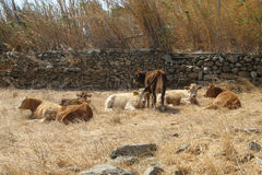 Cows. Herd of cows resting on the dry grass, island of Mykonos, Greece Royalty Free Stock Images