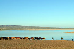 Cows and herdsmen on lake background. Kyrgyz children herding cows on the bank of a small reservoir in the Ferghana Valley Royalty Free Stock Photo