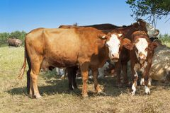 Cows are hiding in the shade of bushes. Sunny day on the farm. Midday heat pastures. Stock Images