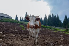 Cows on a high mountain farm in summer. Cow on a farm in the mountains before milking after grazing stock photos