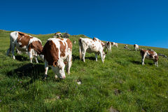 Cows in a high mountain pasture. Close to Morzine and Les Gets in french Alps Royalty Free Stock Photography