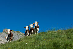 5 Cows in a high mountain pasture. Five cows in a high mountain pasture close to Morzine and Les Gets in french Alps Stock Photos