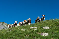 9 cows in a high mountain pasture. Nine cows in a high mountain pasture close to Morzine and Les Gets in french Alps Royalty Free Stock Photography