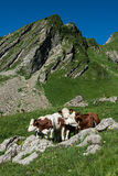 3 Cows in a high mountain pasture. Three cows in a high mountain pasture close to Morzine and Les Gets in french Alps Stock Photo
