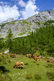 Cows on high mountain pastures. In Julian Alps Stock Photo