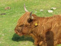 Cows. Highland cows coos Stock Photography