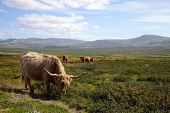 Cows in the highlands Stock Photography
