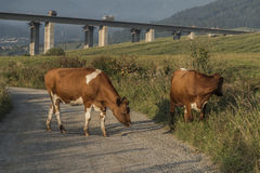 Cows and highway bridge near Ruzomberok town stock images