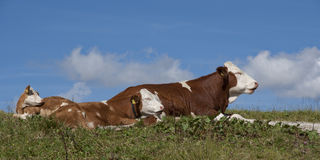 Cows. Hiking through the Bavarian Alps of Southern Germany Stock Images
