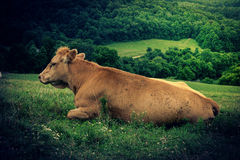 Cows on a Hill Stock Images