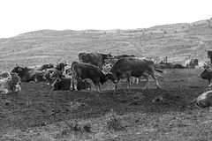 Cows on hill Royalty Free Stock Image