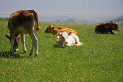 Cows on a hill closeup Stock Image