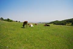 Cows on a hill Stock Photos