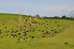 Cows on the hill. In New Zealand Stock Photography