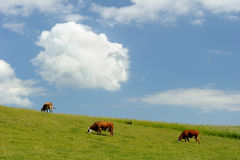 Cows. On a hill one summer day Royalty Free Stock Photo