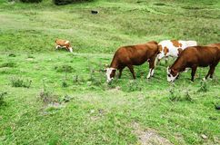 Cows on the hill Royalty Free Stock Photos