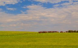 Cows on the hill Stock Photography