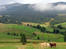 Cows and hills Royalty Free Stock Photography