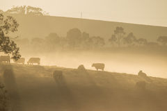 Cows on the hills at dawn Royalty Free Stock Photos