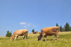 Cows on a hillside. Stock Images