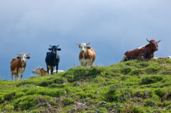 Cows on the Hilltop. Four Cows on the Hilltop of a Pasture Stock Photo