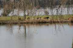 Cows in Holland. Resting by the meuse Royalty Free Stock Photo