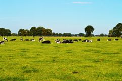 Cows in Holland Royalty Free Stock Image