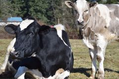 Cows. Holstein cows at the farm Royalty Free Stock Photo