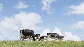 Cows on the horizon Royalty Free Stock Image