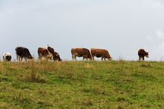 Cows on the horizon Royalty Free Stock Photos