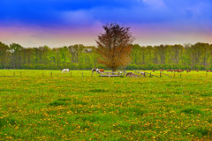 Cows and Horses Stock Photography
