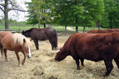 Cows and Horses. Cows, horses, and ponies eating hay Stock Image