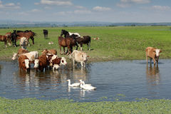 Cows horses and geese Stock Photo