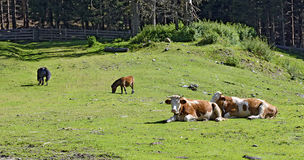 Cows and horses on a mountain meadow Royalty Free Stock Photography