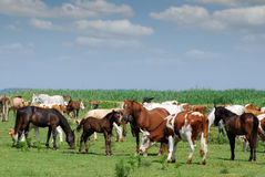 Cows and horses Stock Images