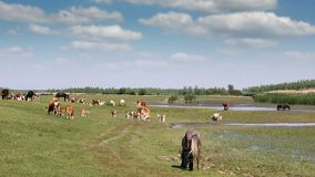 Cows and horses on pasture. Near river stock video