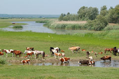 Cows and horses on river royalty free stock images