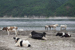 Cows and horses on river bank. Stock Image