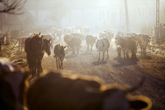 Cows and horses at sunrise Royalty Free Stock Photography