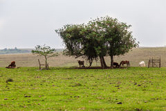 Cows Horses and a Tree Royalty Free Stock Photo