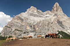 Cows and horses under Monte Pelmo in Italian Dolomities Stock Photography