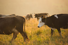 Free Cows In A Pasture In The Mountains Just Before Sunset Stock Images - 78135334