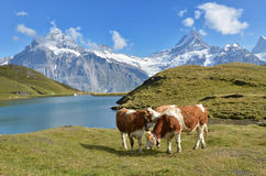 Cows In Alpine Meadow Stock Photo