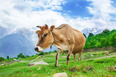 Cows In Mountains Royalty Free Stock Photography