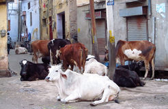 Cows in India Royalty Free Stock Images