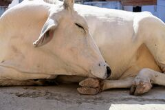 Cows are everywhere in the world. But in India they are Holy.